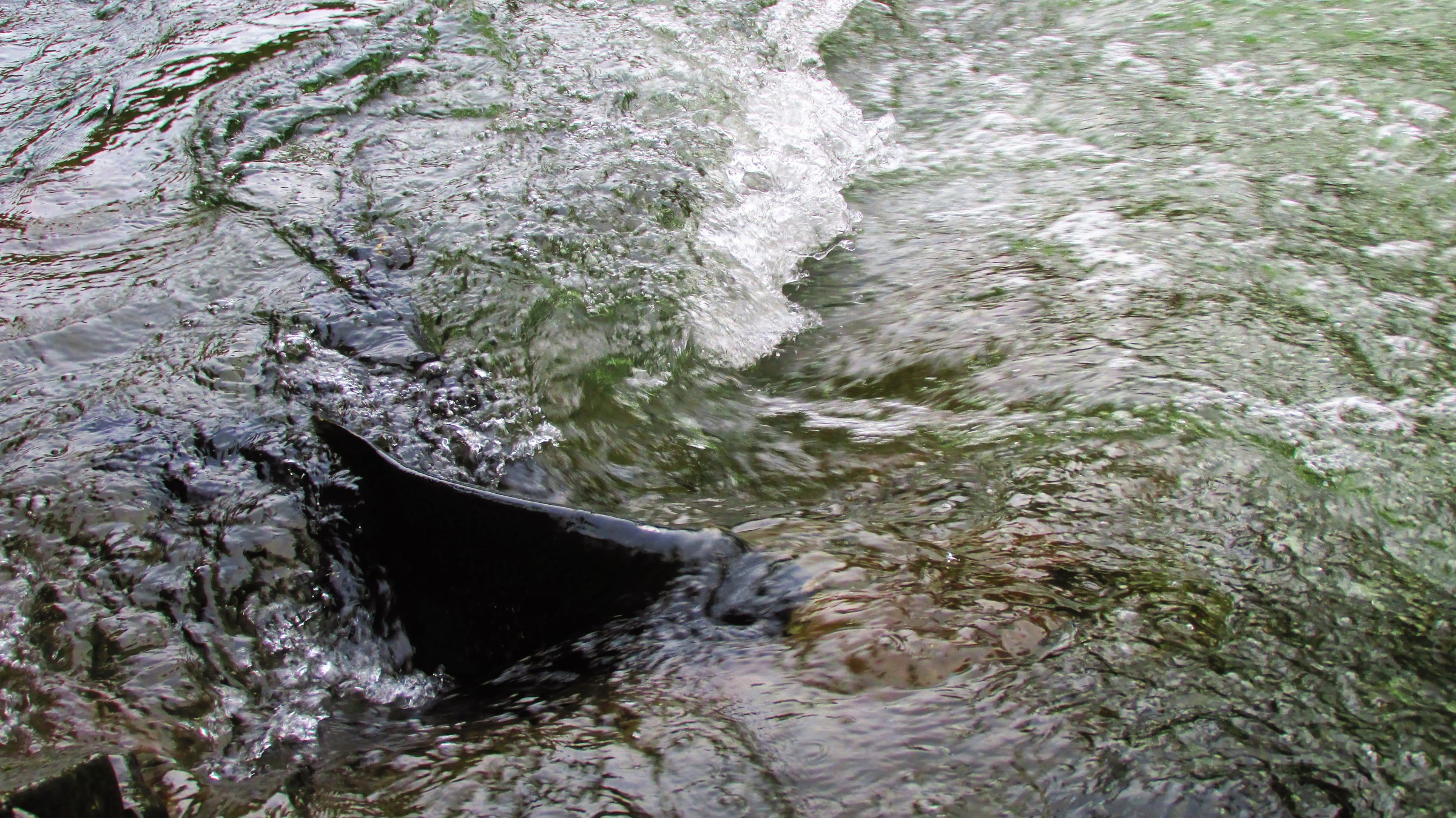 Must-See Salmon Run at Stamp River