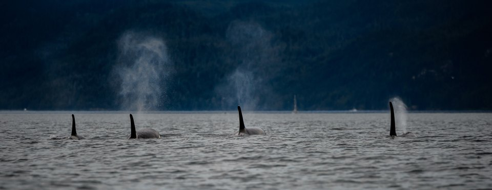 Pod of Orcas in BC